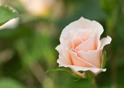 Rosa delicata