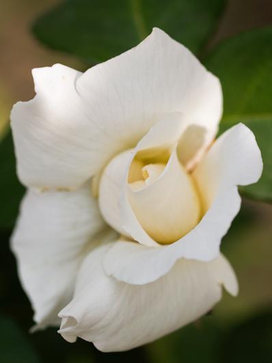 Rosa di campo