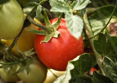 Pomodori in campo