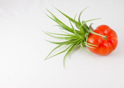 Tillandsia con pomodoro rosso still life
