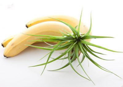 Tillandsia con Banana Still Life