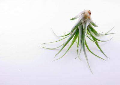 Tillandsia pianta aria still life