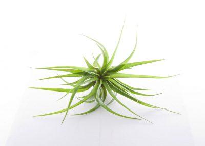 Tillandsia pianta senza terra still life
